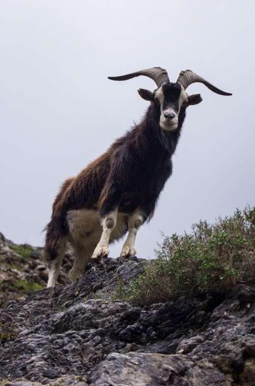 Goat Horns Asturias Animal Mountain Nature Mount