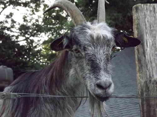 Goat Animal Breeding