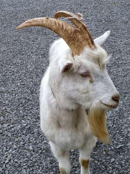 Goat White Animal Farm Mammal Ram Livestock