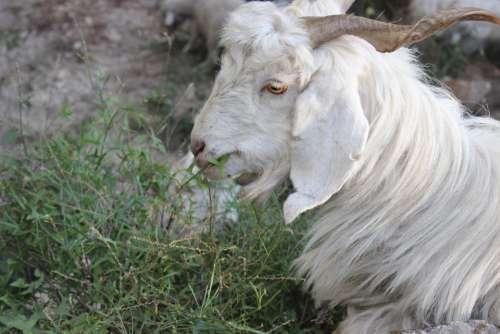 Goat Shimla Himachal India Pradesh Valley