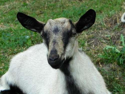 Goat Kid Domestic Goat Livestock Pasture