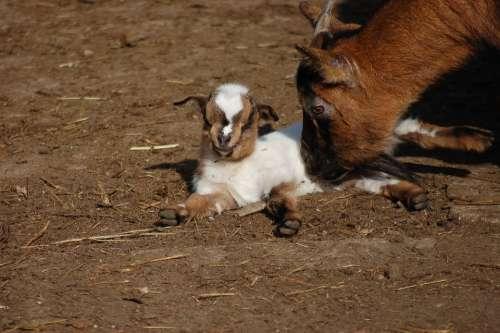 Goats Farm Animals Livestock Rural