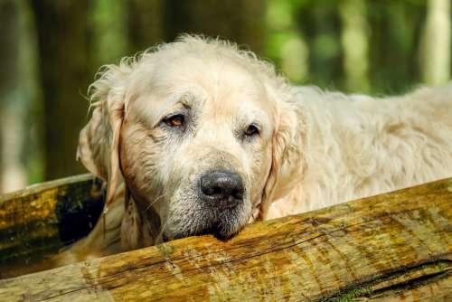 Golden Retriever Dog Retriever Male Old