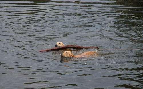 Golden Retriever Dog Batons Floor Gassi Water