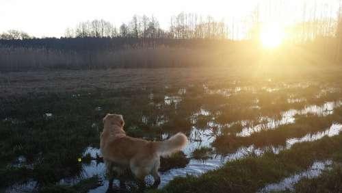 Golden Retriever Dog Sun Sunset Landscape