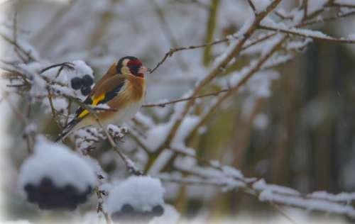 Goldfinch Elegant Bird Snow Winter Nature Plumage