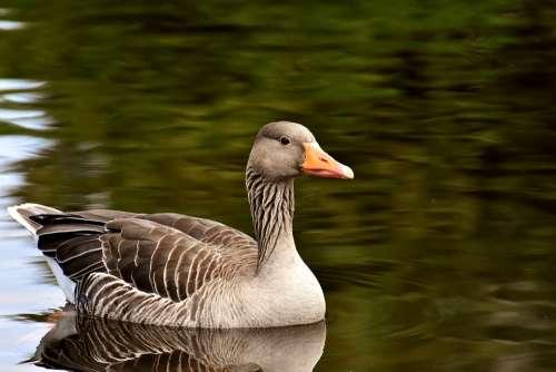 Goose Wild Goose Water Bird Bird Poultry