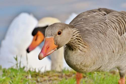 Goose Water Waterfowl Nature Poultry Animal World