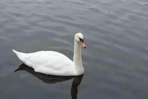 Goose Water Nature Animals Bird Animal Geese