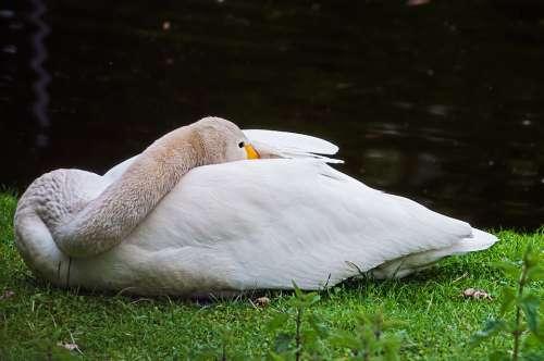 Goose Animal Bird Nature Rest