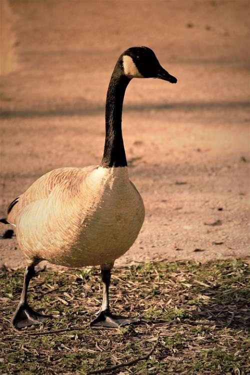 Goose Nature Animals Bird Geese Wildlife Walking