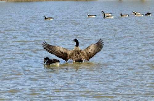 Goose Water Nature Birds Lake