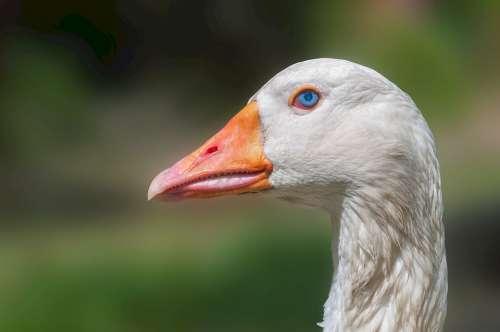 Goose Head Domestic Poultry Bird Neck Beak Eye