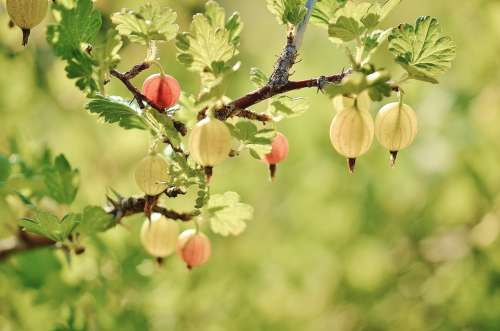 Gooseberry Fruits Red Summer Naked Stalks Poppy