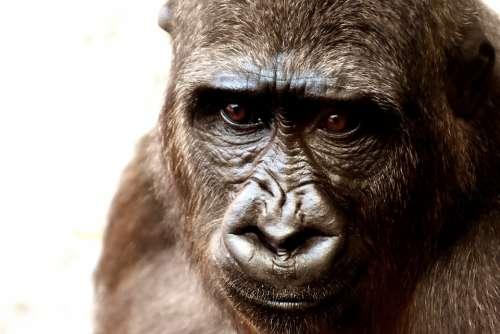 Gorilla Monkey Animal Zoo Furry Omnivore Portrait