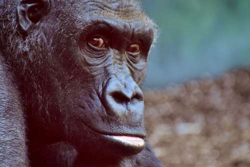 Gorilla Monkey Animal Furry Omnivore Portrait