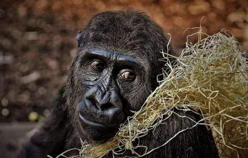 Gorilla Monkey Animal Furry Omnivore Portrait