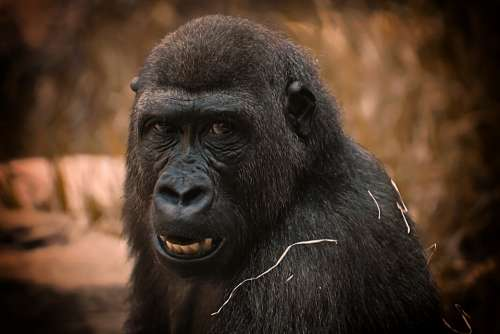 Gorilla Monkey Animal Zoo Furry Omnivore Portrait
