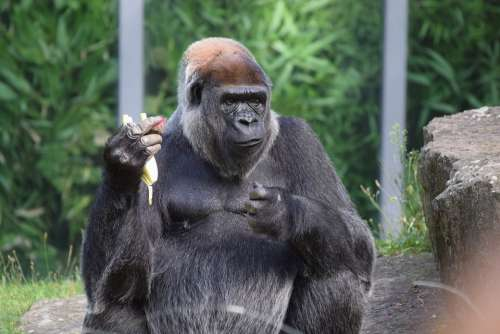 Gorilla Food Zoo View Creature Animal Recording