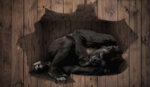 Gorilla Cage Lying Habitat Sad Alone Monkey Wood