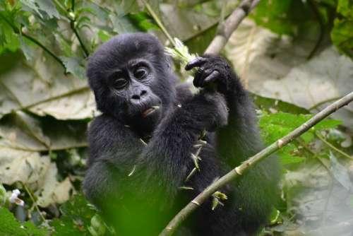 Gorilla Baby Gorilla Monkey Bwindi Uganda