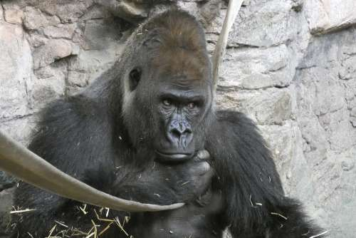 Gorilla Male Look Zoo Head Fauna
