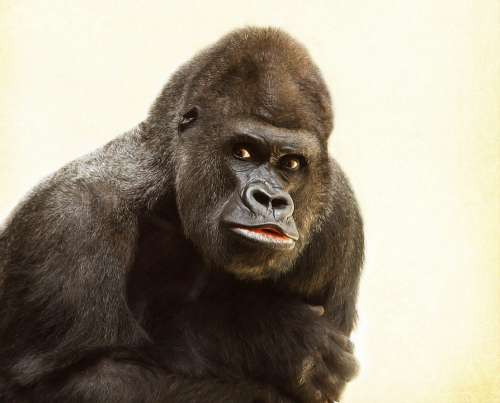 Gorilla Silverback Animal Silvery Grey Imposing