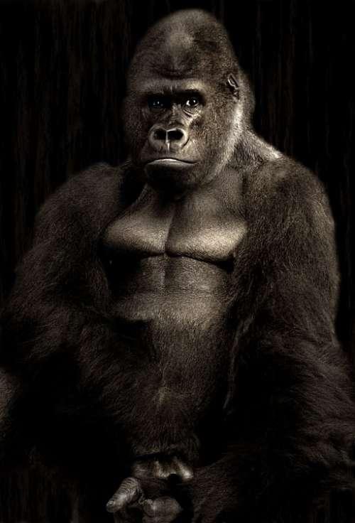 Gorilla Silverback Monkey Silvery Grey Powerful