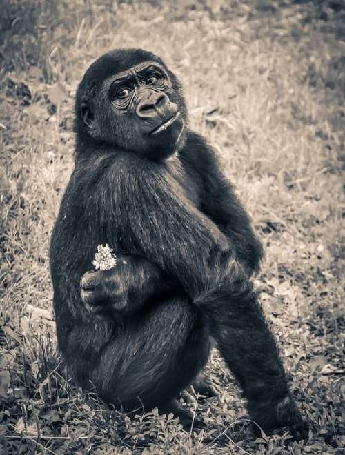 Gorilla Monkey Puppy Ape Endangered Species Young
