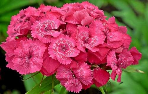 Gożdziki Stone Flowers Garden Pink Nature Closeup