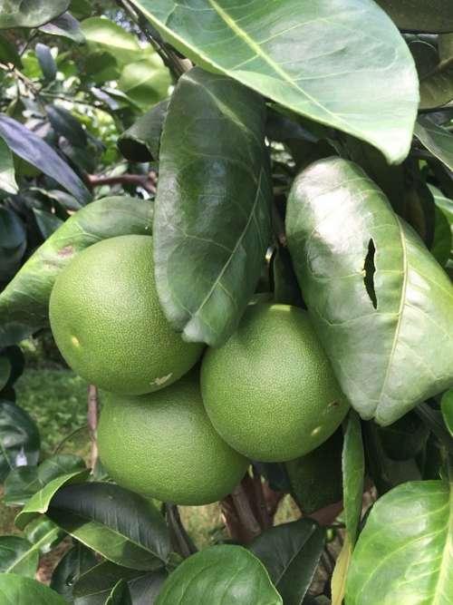 Grapefruit Trees Citron Leaf Grapefruit Grapefruit