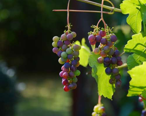 Grapes Vine Red Grapes Wine Winegrowing Grapevine