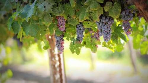 Grapes Fruit Food Ripe Vine Berries