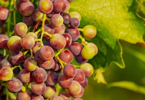Grapes Grape Vine Red Grapes Winegrowing Fruit