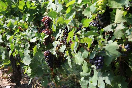 Grapes Vineyard The Vine Winery Fruit Nature