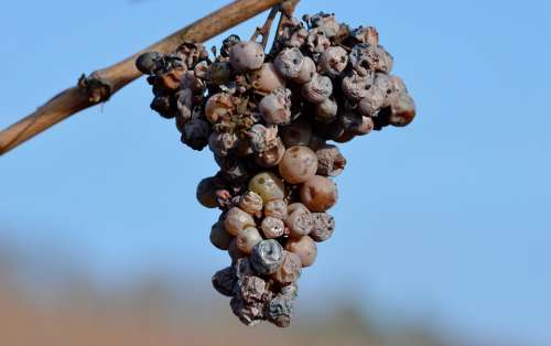 Grapes Over Ripe Noble Rot Grapevine Winegrowing