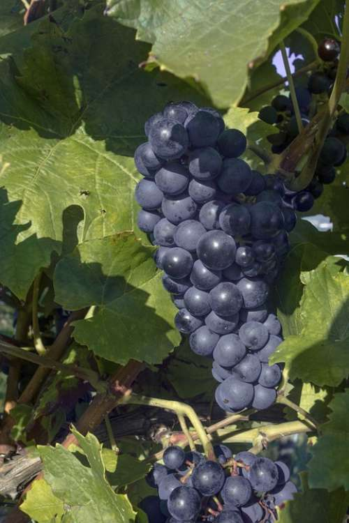 Grapes Grapevine Wine Vines Winegrowing Fruit