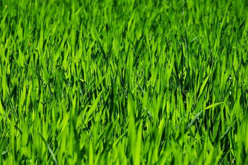Grass Field Meadow Rush Growth Plant Nature