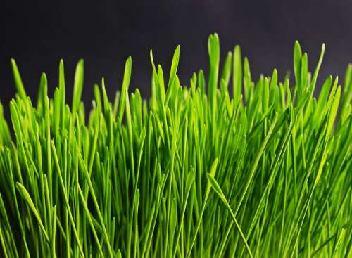 Grass Green Nature Plant Meadow Grasses