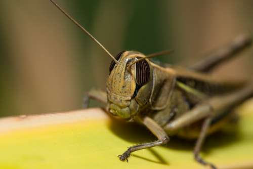 Grasshopper Locust Insect Nature Animal Green Bug