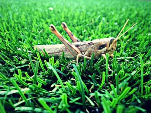Grasshopper Grass Nature Green Insect Summer