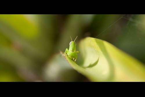 Grasshopper Nature Grass Insect Closeup Micro