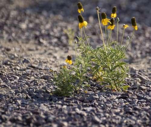 Gravel Yellow Flower Desert Flower Drought Tolerant