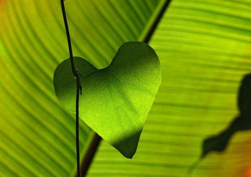 Green Leaf Heart Shadow Play Leaf Veins