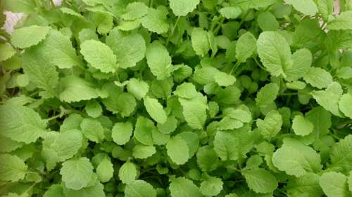 Green Fresh Mustard Plants Nutrition Organic Raw