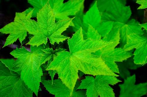 Green Leaf Summer Plant Nature Growing Leaves