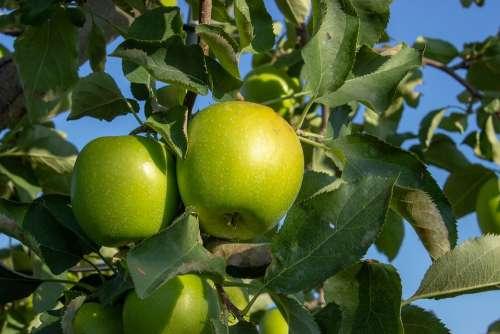 Green Apple Granny Smith Apple Branch