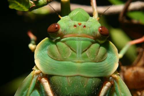 Green Grocer Cicada Insect Cicada Close Up Macro