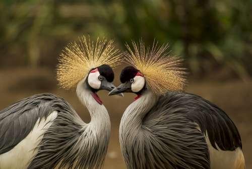 Grey Crowned Crane Bird Crane Animal Animal World