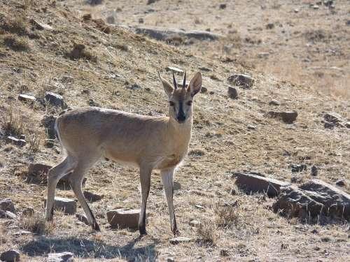 Grey Duiker Antelope Africa Nature Duiker Animal